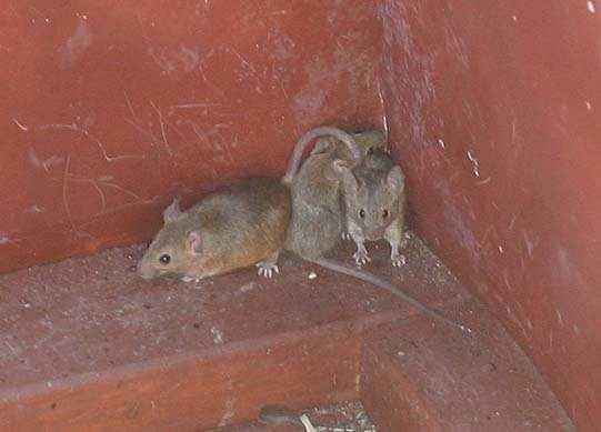 fobie voor muizen - geheugen van oost, Gartenarbeit ideen